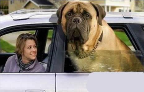 En büyük köpekler galerisi resim 1
