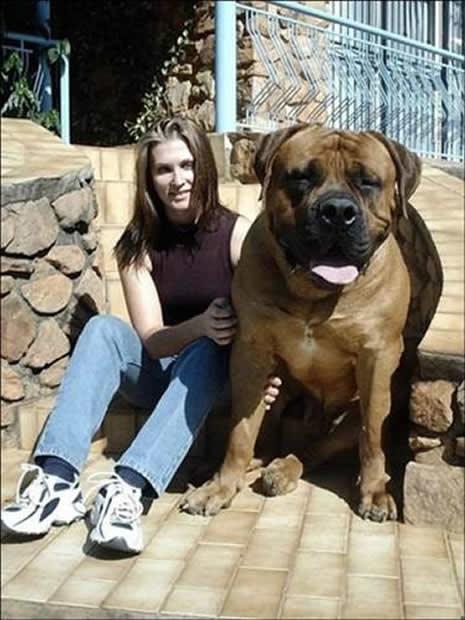 En büyük köpekler galerisi resim 2