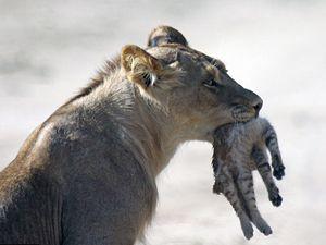 Aslanlar arasında cesur kedi!