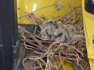 TIR'ına yuva yapan kuşun yuvasını bozmadı