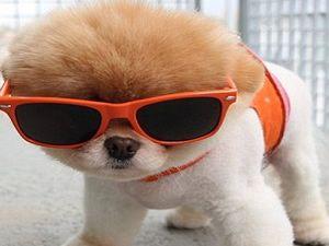 Dünyanın Sevimli Köpeği Boo