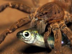 Bu örümcekler balık yiyor