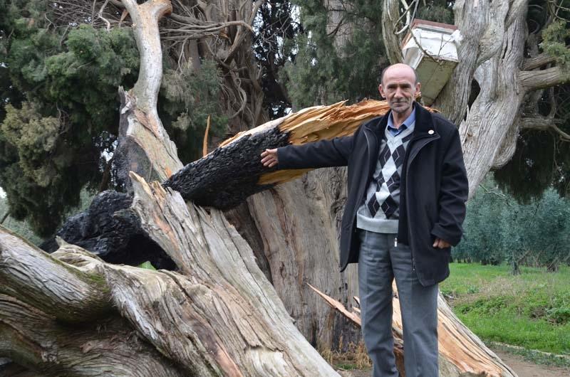 700 yaşındaki ağacı tahrip ettiler galerisi resim 1
