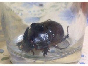 Bahçesinde dünyanın en nadir böceğini buldu