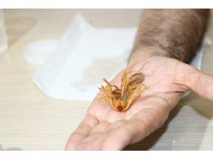 Et yiyen örümcek zehirli değil