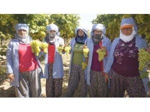 Superior üzümünün ihracat yolculuğu başlıyor