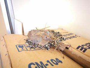 Açık pencereden ofise giren kuş yuva yaptı