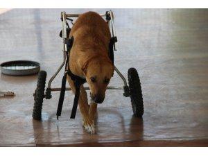 Felçli sokak hayvanları için umut