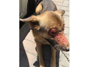 Yüzüne kimyasal madde atılmış köpeği vatandaşlar kurtardı