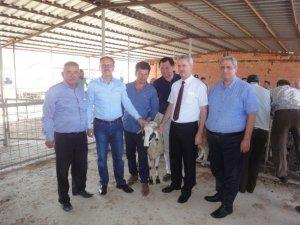 Tavas'ta koyun yetiştiricilerine 42 baş koç dağıtıldı