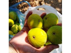 Aydın'ın dünyaca ünlü sarılop inciri olgunlaştı