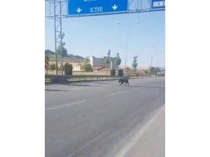 Şehre inen domuz, sürücülere zor anlar yaşattı
