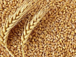 Buğday ihracatının lideri Rusya