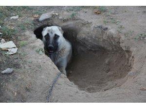 Kangal köpeği sıcaktan korunmak için çukur kazdı