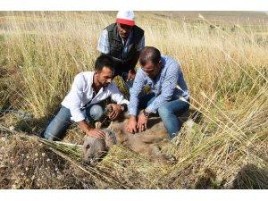 Köylülerin bulduğu bozayı tedavi altına alındı