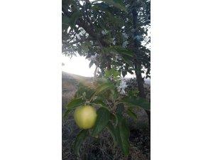 Elma ağacı yaz mevsiminde çiçek açtı