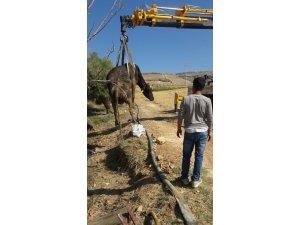 Çamura saplanan inek 2 gün sonra kurtarıldı
