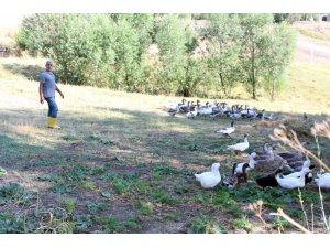 32 yıllık öğretmen emekli olur olmaz köyde kaz beslemeye başladı