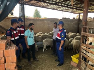 Karacasu'dan 50 adet koyun çalan 2 hırsız tutuklandı