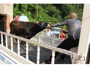 Yüzen dana 'Ferdinand' yola çıktı