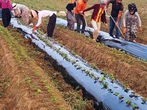 Aydın'da çilek fideleri toprakla buluşmaya başladı