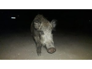 Aç kalan domuz sürüsünü elleriyle besledi