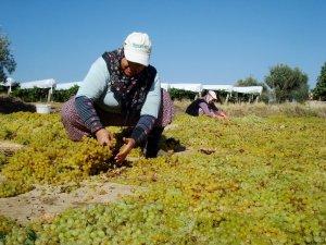 Sarıgöl'de üzüm kurutma çalışmaları başladı