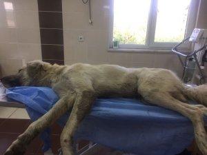 Yaralı köpeğe Büyükşehir müdahale etti