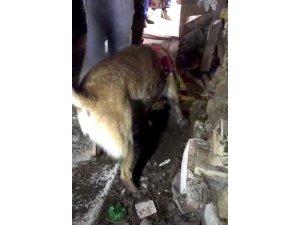 Narkotik Köpeği Ceviz'in gömülü esrarı bulma anı kamerada