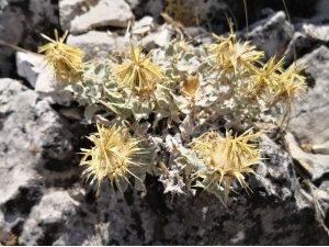 Akdeniz'e özgü yerel bir endemik bitki türü keşfedildi