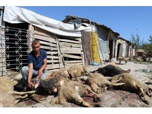 Başıboş köpekler 30 koyunu telef etti