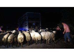 Tunceli'de kamyon devrildi, 12 hayvan telef oldu