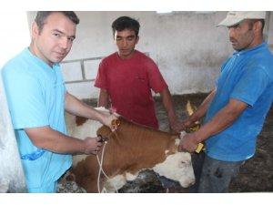 Iğdır'da şap aşılama kampanyası