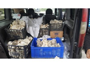 İstiridye mantarı üretimi sevindiriyor