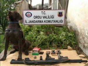 Ordu'da uyuşturucu operasyonu: 6 gözaltı