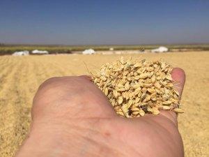 Diyarbakır'da pirinç hasadı başladı