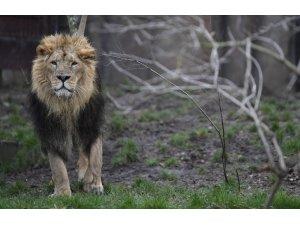 İki haftada 23 aslan telef oldu