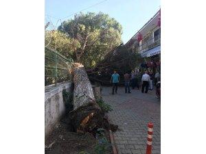 Çam ağacı birden devrildi
