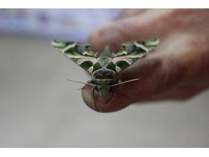 İstanbul'da ender rastlanan 'mekik kelebeği' bulundu