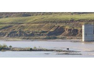 Nehirde mahsur kalan eşek kurtarılmayı bekliyor