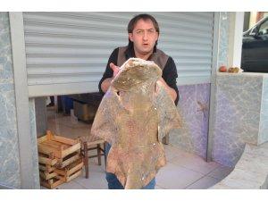 İnsan boyundaki vatoz köpekbalığı ilgi odağı oldu