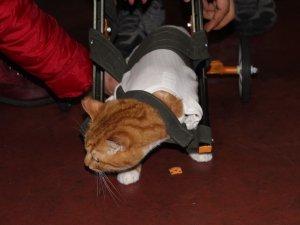 Lise öğrencilerinden engelli kedilere yürüteç