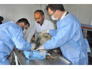 Yaralı baykuşu rektör ameliyat etti