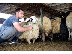 Kozluk'ta 12 aileye 408 koyun verildi