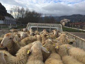 Eğirdir'de genç çiftçilere hayvan desteği