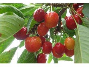 Kütahya'da vişne üretimi yüzde 12 azaldı