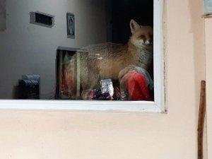 Tilkiye her gün kapısını açıyor