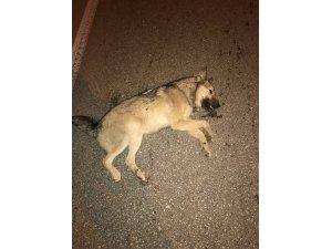 Vicdansız sürücü köpeğe çarpıp arkasına bakmadan kaçtı