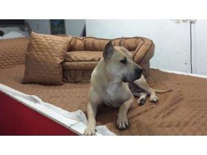 Kaybolan köpeğini bulana 10 bin TL ödül verecek