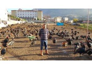 Doğal ortamda beslenen hindiler satışa hazır